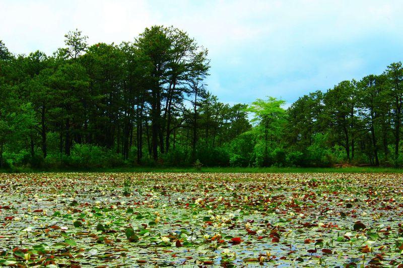 Swamp Marsh New Jersey Pinelands Pine Barrens Waterlilies