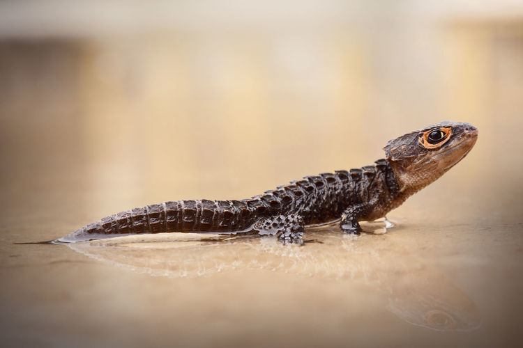 Close-up of lizard in water
