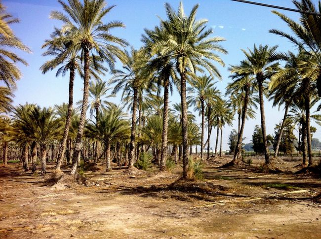 Israel IPhoneography Travel Lametayel Palms Nature Landscape Open Edit