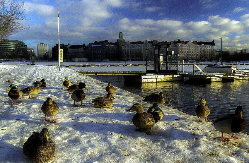 Precision Ducks EyeEm Nature Lover Intricate Ordered Golden Hour Precise Finland Helsinki Hakaniemi