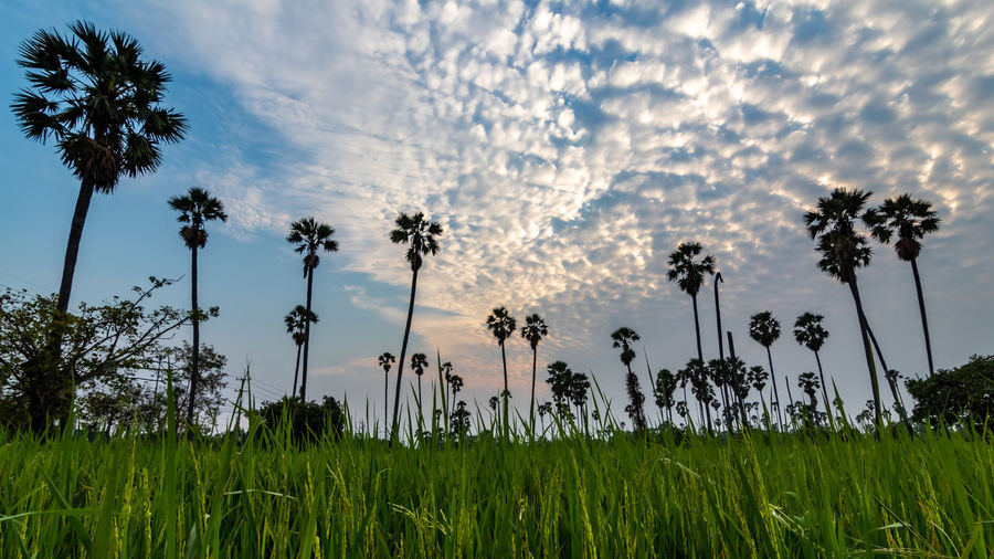 Sunset at Dong Tan, Pathum Thani Plant Sky Growth Beauty In Nature Tree Cloud - Sky Field Tranquility Palm Tree Nature Land Grass Tropical Climate No People Tranquil Scene Scenics - Nature Low Angle View Environment Landscape Day Outdoors Coconut Palm Tree