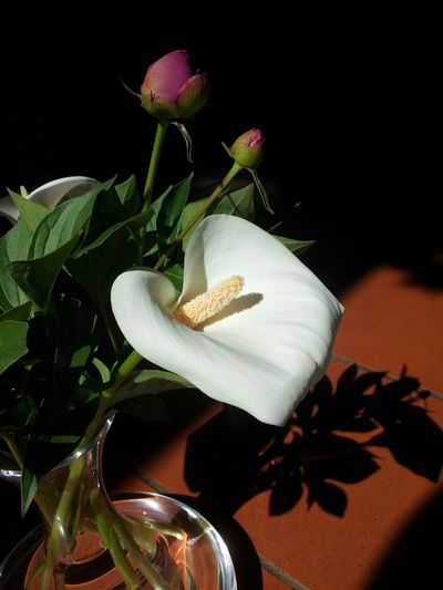Calla Lily Welcome Spring! Flowers Light And Shadow