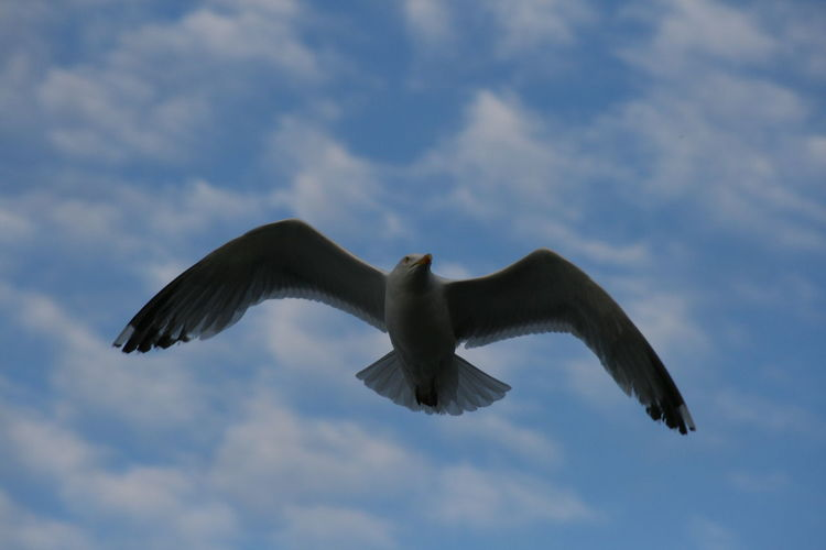Animal Themes Animals In The Wild Bird Cloud - Sky Day Flying Low Angle View Mid-air Nature No People One Animal Outdoors Seagull Sky Spread Wings