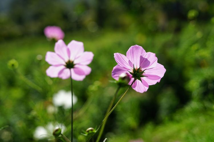 No People No Person Day Flower Head Flower Pink Color Petal Beauty Front Or Back Yard Close-up Plant Cosmos Flower Blooming In Bloom Flowering Plant Blossom