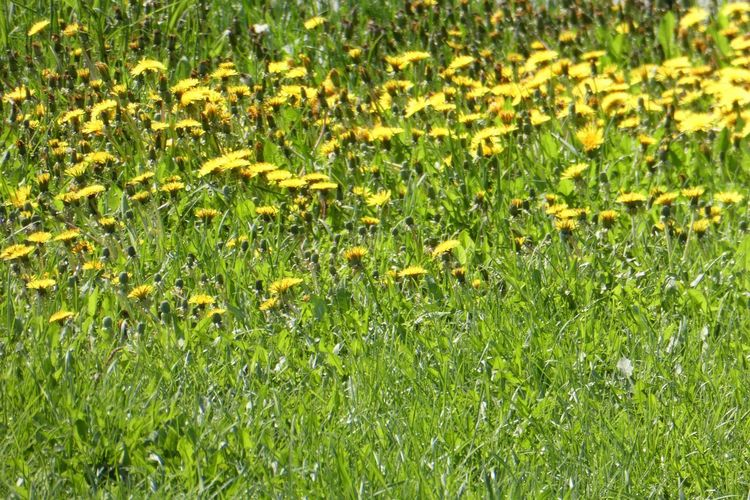 Plant Green Color Beauty In Nature Growth Grass Nature Full Frame Field No People Flower Flowering Plant Land Freshness Backgrounds Outdoors Day Yellow Fragility Vulnerability  Lush Foliage Springtime