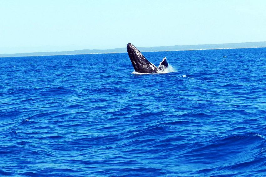 Animal Themes Animal Wildlife Animals In The Wild Aquatic Mammal Australia Australia & Travel Blue Day Holiday Horizon Over Water Mammal Nature No People Ocean Wildlife One Animal Outdoors Sea Sea Life Sky Vacation Water Whale Whale Watching Finding New Frontiers The Great Outdoors - 2017 EyeEm Awards