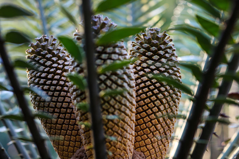 Cycad cones Growth No People Plant Fruit Day Outdoors Cycads Cycad Cones Cycadcones Leaves Nature Green Color Selective Focus Beauty In Nature