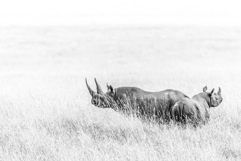 Rhinoceros standing on grassy field