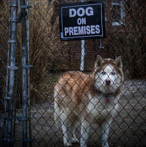 Portrait Of Siberian Husky Standing Behind Fence