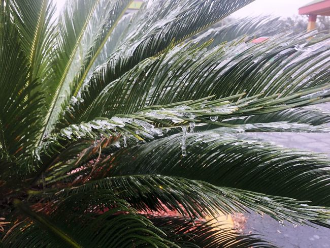 Palm Blizzard Frozen Nature Icicle Ice Leaf Wet Palm Tree Water Nature No People Outdoors Day Close-up Freshness