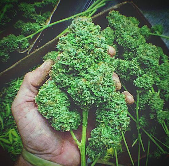 Thc Greenfingers Cannabis Crop  Cropping Cutting Down Harvest Green Skunk Gardening Nature Medicine Natural Pain Killer Anti Nausea Anti Inflammatory