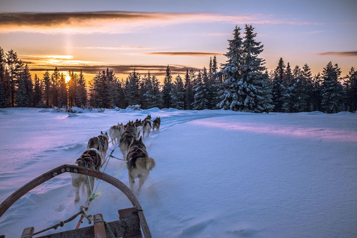 Sleddog Dog Sledge Dog Winter Adventure Cold Winter ❄⛄ Sled Dog Mush Camp Dog Sled Musher Sunset Husky Wintertime Winterwonderland Winter Wonderland Clouds And Sky Dog Sledding Dogs Mush Dog Cold Temperature Snow Eyem Nature Lovers  Snow ❄ Landscape Animal Themes Snow Sports