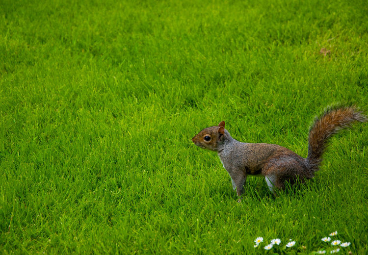 Side view of squirrel on grass