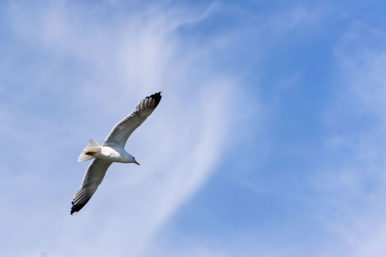 a seagull in the sky of Tuscany Bird Bird Photography Blue Sky Blue Sky And Clouds Flying Bird Flying In The B Nature Seagull