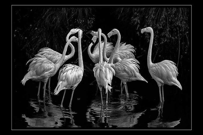 en ronda Flamingos In Water Monochrome monochrome photography Agua Water Black Background