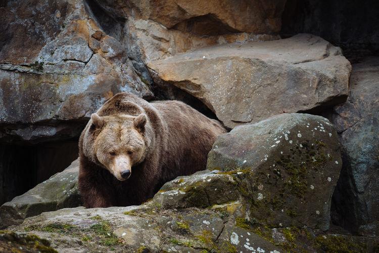 Close-up of a bear on rocks