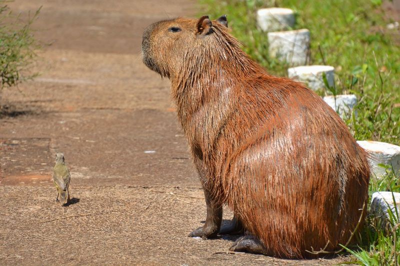 Capybara in a zoo
