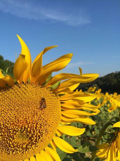 Faces Of Summer girasoli in Toscana