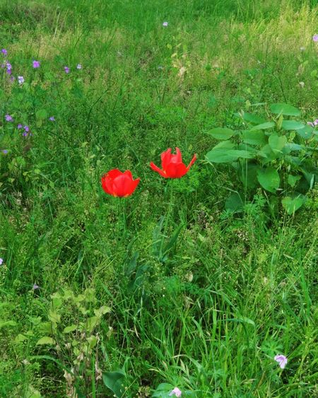 Grass Red Nature Flower Green Color Field Beauty In Nature Outdoors Senery Spring Park Nature_collection Growth