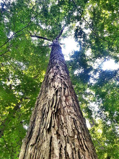man thats a tall oak tree....I hope everyone has a wonderful Treegasmic Tuesday Hugging A Tree Tree And Sky TreePorn