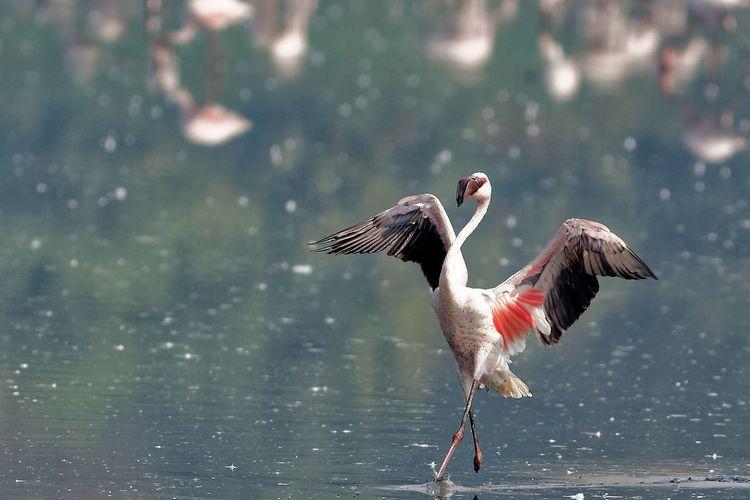 Greater flamingo running in water