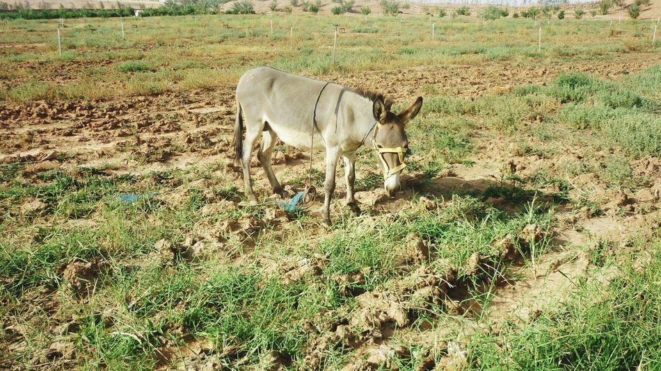 Eid Mubarak Eid Fitri Farm Life Sunny Day Donkey Eating Grass Shooting Having Fun :)