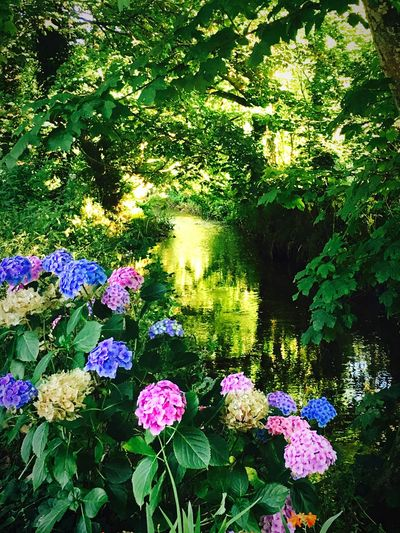 ForgottenStreams 🌺 Riverside River View Stream Flowers Colours Untouched Freshness Fragility Growth Beauty In Nature Plant Petal Nature Tree Flower Head Pink Color In Bloom Blooming Springtime Tranquility Hydrangea Blossom Day The Magic Mission