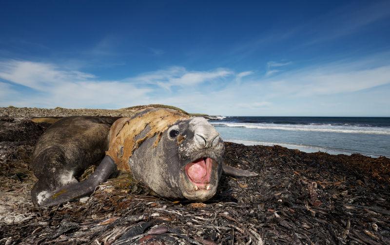 Elephant seal at beach