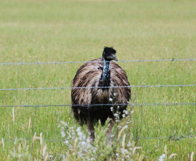 Emu on field