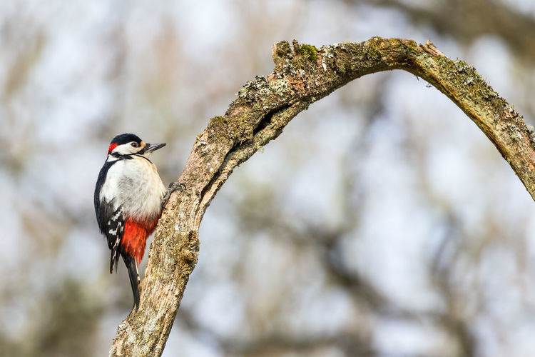 Bent tree branch with a great spotted woodpecker