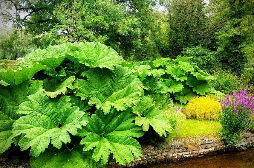 Gunnera Large Plants Huge Leaf Huge Leaves Green Green Green!  Greenery Huge Plant Bibury Cotswolds