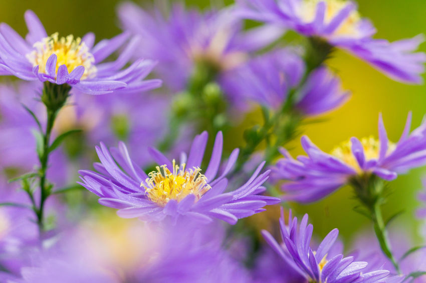 Close-up of lilac Aster (Aster Dumosus) Flowers in Autumn. Aster Aster Dumosus Flower Head Flowers Blue Lilac Cut Flowers Late Summer Gensinger Blau Aster Sapphire Bushy Aster Late Fall Pink Nature Aster Amellus Plant Blooming Blossom Flowering Plant Gardens Bushy Season  Green Growth Purple
