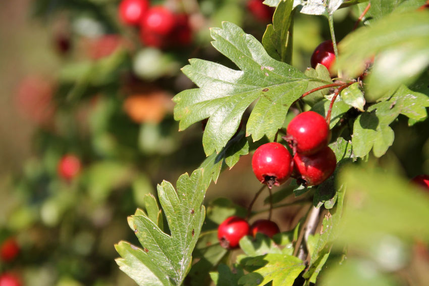 Rowanberry Beauty In Nature Close-up Day Focus On Foreground Food Freshness Fruit Green Color Growth Leaf Nature No People Outdoors Plant Red Tree Vogelbeeren