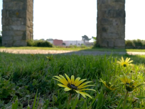 Grass Flower Day No People Outdoors Nature Architecture Growth Close-up Beauty In Nature City Flower Head EyeEmNewHere Resist The Secret Spaces Long Goodbye Aqueduct Historical Monuments Vila Do Conde Landscape Sun Freshness Beauty In Nature New Angle Bottom View