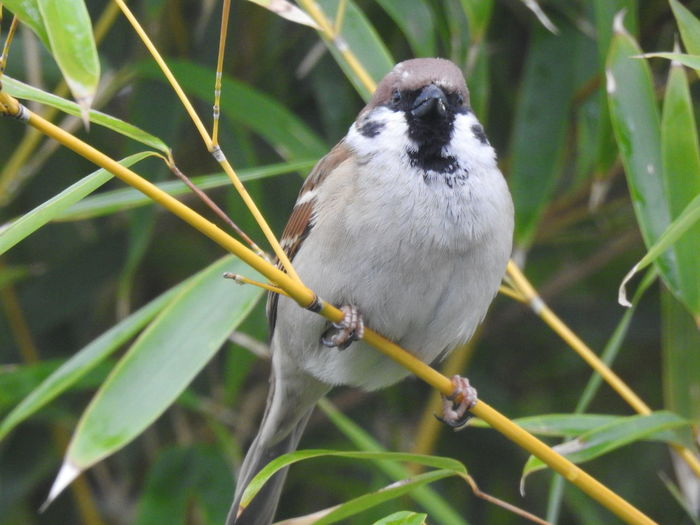 Animal Wildlife Animal Themes Animal Animals In The Wild One Animal Vertebrate Bird Perching Plant Day Focus On Foreground Close-up No People Nature Plant Part Leaf Sparrow Outdoors Branch Green Color Bird Photography Birds_collection Bamboo Alertness