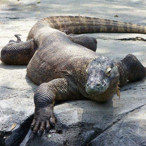 Komodo Dragon Columbus Zoo Columbus, Ohio My Favorite Animal Komodo ❤️ Cool Animals Strike A Pose! Reptile Photography Reptile Love Reptile Collection