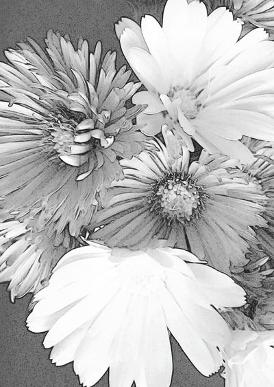 Calendula Officinalis Aster Flowers Blossom Black And White