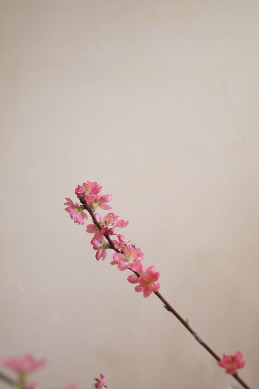 flower, fragility, beauty in nature, nature, growth, pink color, freshness, no people, twig, blossom, copy space, botany, branch, petal, close-up, springtime, day, flower head, tree, plum blossom, outdoors, blooming