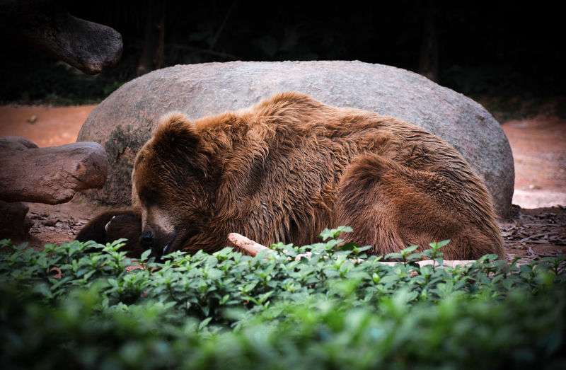 Grizzly bear relaxing on field