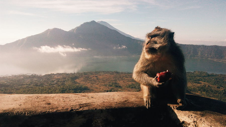 Monkey with apple sitting on wall against mountain