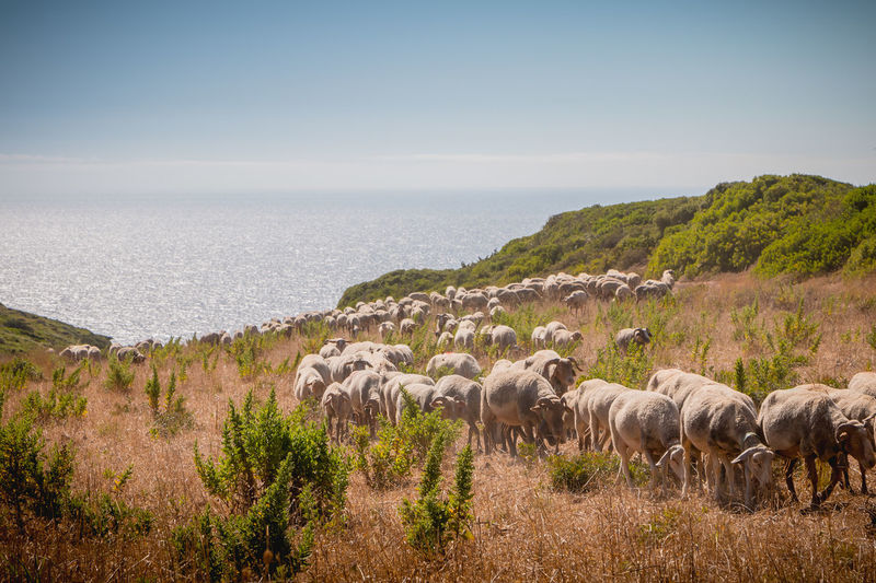View of sheep on shore against sky