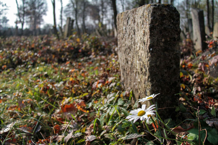 Cemetery Jewish Ucraina 🇺🇦 Autumn Beauty In Nature Close-up Day Flower Focus On Foreground Growth History Jewish Cemetery Nature No People Outdoors Tombstones Tree Tree Trunk