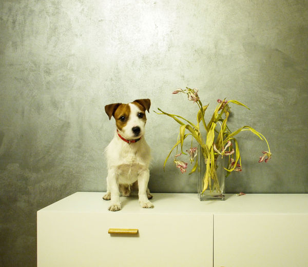 Portrait of jack russell terrier by vase on table against wall