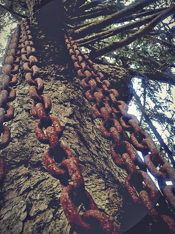 Rusty chains On The Tree Tree Branches Chains Rusty Cool Grunge Fine Art Photography Perspective Expression Links Bark Textures Outdoors TreePorn Cool_capture_ Objects Chain Link Rustygoodness Metal Chains Rusty Things Heavy Chain Coolpic Tree Photography Objects Of Interest Unusual