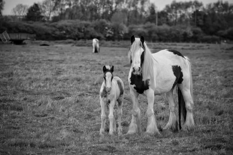 Animal Themes Domestic Animals Mammal Nature Outdoors Day No People Animals In The Wild Grass Tree Oil Pump Pony Ponies Nature Photography Black And White Mare And Foal Rural Scene Full Length Monochrome Spring Togetherness New Born Nature Livestock Grass