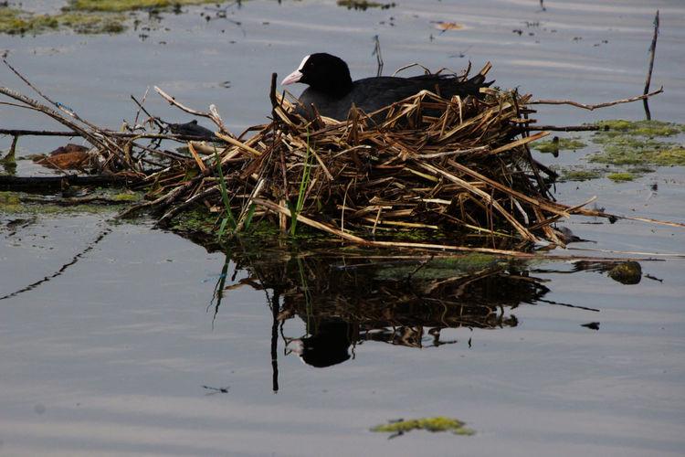 Bläshuhn Brütend Nesting Animal Animal Themes Animal Wildlife Animals In The Wild Water