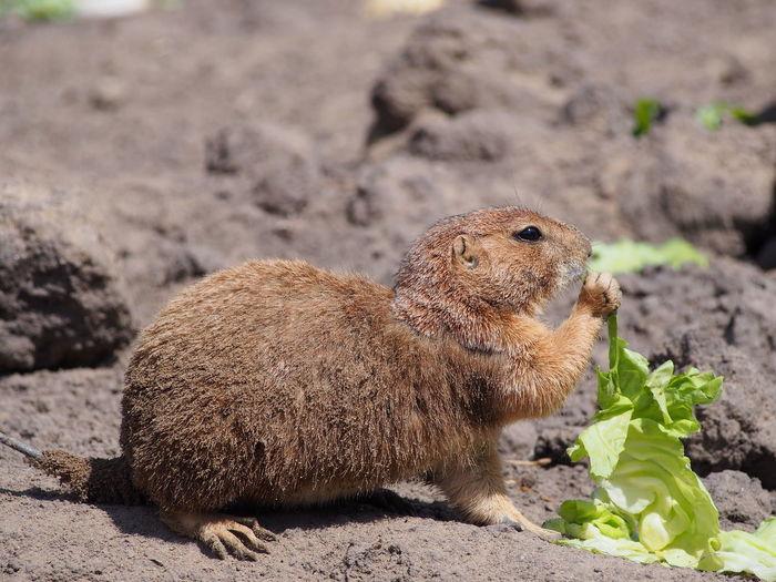 Side view of marmot feeding on lettuce