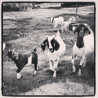 Goats Bnwalma Bnw_power Bnwoftheday Bnwphotooftheday bnwoftheday bnwlovers bnw_stingray bnw_power blacknwhite_perfection black_and_white blacknwhite nocolorneeded noire cafe_noir monoart monochrome goats Kansas Lovewell art found_art