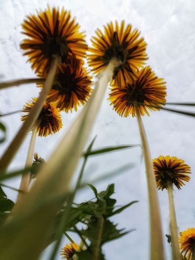 Perspectives on Nature From Bottom To The Top Perspective Photography Dandelion Flower Head Flower Sky Close-up Plant In Bloom Plant Life Botany Petal