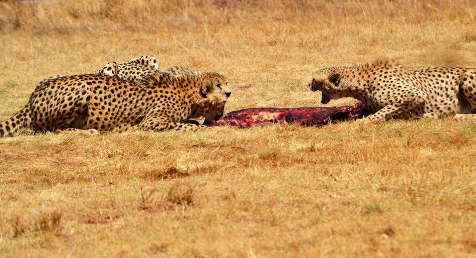 Cheetah lying on grass